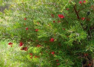 Flowering red grevillea.