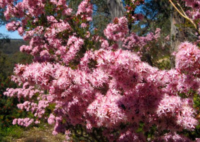 Glorious pink blooms.