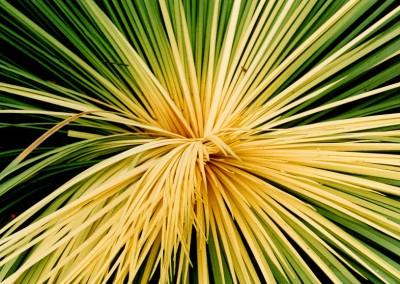 Yacca plant.